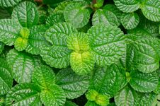 Free Episcia Leaf Royalty Free Stock Image - 31242376