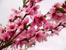 Peach Flowers Royalty Free Stock Photos