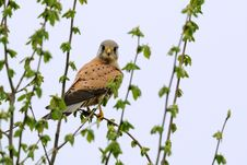 Common Kestrel &x28;Falco Tinnunculus&x29; Royalty Free Stock Images