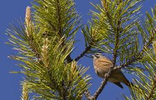 Free Rock Bunting On Pinetree Royalty Free Stock Image - 31245646