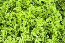 Free Green Groundcover Royalty Free Stock Image - 31246166