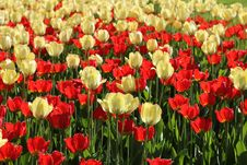 Free Red And Natural White Tulips Field Royalty Free Stock Image - 31247746