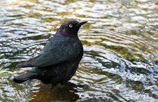 Free Blackbird Royalty Free Stock Photography - 31249507