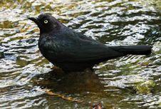 Free Blackbird Stock Image - 31249571