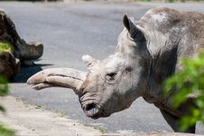 Free Rhinoceros Royalty Free Stock Photography - 31249837