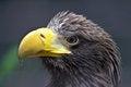 Free Eagle Stock Photos - 31250223