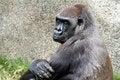 Free Gorilla Stock Photos - 31250393