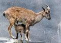 Free Goat Royalty Free Stock Image - 31251836