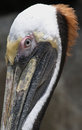 Free Pelican Stock Photo - 31252130