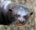 Free Otter Stock Photo - 31252700