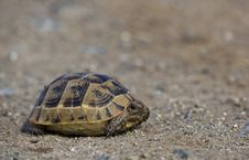 Free Mediterranean Spur-thighed Tortoise Royalty Free Stock Photos - 31250018