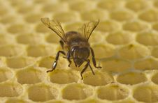 Free Bee Build Honeycombs Royalty Free Stock Photo - 31250035
