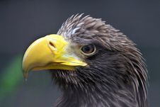 Free Eagle Stock Photos - 31250223