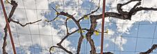 Free Vine Tree In The Sky Stock Photography - 31251522