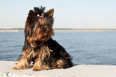 Free Yorkshire Terrier Puppy Stock Photo - 31251790