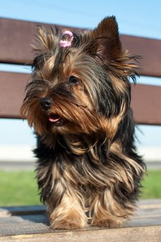 Free Yorkshire Terrier Puppy 2 Royalty Free Stock Images - 31251819