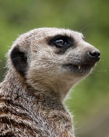 Free Meerkat Royalty Free Stock Photo - 31251945