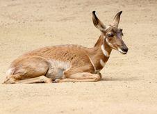 Free Antelope Royalty Free Stock Photo - 31252735