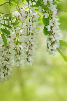 Free Branch Of White Acacia Flowers On Green Stock Image - 31253641
