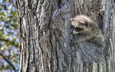 Free Baby Raccoon Stock Images - 31253984