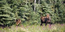 Free Giant Alaskan Moose Female Leads Calf From Forest Wildflowers Stock Image - 31255951