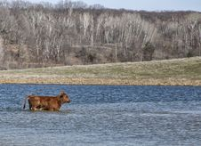 Free Red Angus Calf Stock Images - 31256014