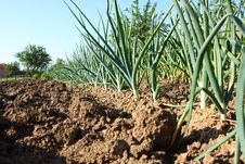 Free Onion And Garlic Plants Royalty Free Stock Photos - 31259478
