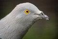 Free Pigeon Stock Photo - 31260610