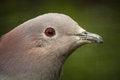 Free Pigeon Stock Image - 31260781