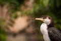 Free Cormorant Stock Image - 31261821