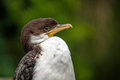 Free Cormorant Stock Photography - 31261902