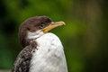 Free Cormorant Stock Photography - 31261902
