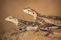 Free Two Iguana Royalty Free Stock Photos - 31262508