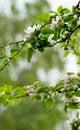 Free Apple Tree Blossom Royalty Free Stock Image - 31268446