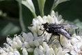 Free A Black Fly On The White Flower Macro Photo Stock Photos - 31269243