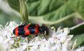 Free Black And Red Striped Beetle On The White Flower Macro Photo Royalty Free Stock Photo - 31269395