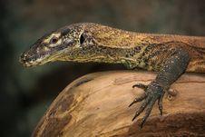 Free Iguana Royalty Free Stock Photography - 31261077