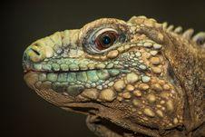Free Lizard Stock Image - 31261491