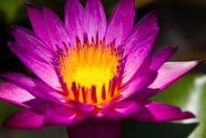 Free Lotus Stock Photo - 31261860