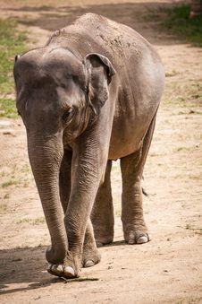 Free Elephant Royalty Free Stock Photography - 31262107