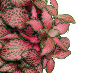 Free Australia Episcia Royalty Free Stock Photo - 31262515