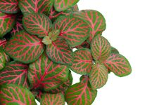 Australia Episcia Royalty Free Stock Photos