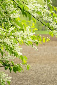 Free Bird Cherry Tree Stock Images - 31268404