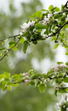 Free Apple Tree Blossom Royalty Free Stock Image - 31268446
