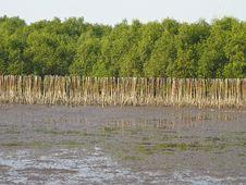 Free Mangrove Shoreline Stock Image - 31269111