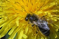 Free A Bee Picking Up Nectar On The Dandelion Macro Photo Stock Photo - 31269880