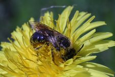 Free A Bee Picking Up Nectar On The Dandelion Macro Photo Stock Image - 31269951