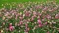Free Field Of Tulips On Daylight Royalty Free Stock Photo - 31270175