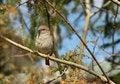 Free Sparrow Bird Royalty Free Stock Image - 31270936