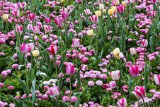 Free Field Of Tulips On Daylight Stock Image - 31270041